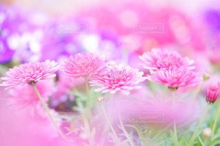 自然,花,春,ピンク,植物,マーガレット,背景,pink,草木,フォトジェニック,ピンクマーガレット