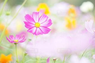 自然,花,秋,花畑,ピンク,植物,かわいい,コスモス,背景,秋桜,コスモス畑,フォトジェニック,明石海峡公園