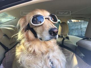 車に乗ってサングラスをかけた犬の写真・画像素材[1379707]
