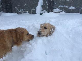 雪の上に横たわる大きな茶色の犬の写真・画像素材[1736615]