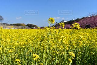 空,花,春,桜,屋外,菜の花,景色,黄,草木,浜松市,東大山の河津桜
