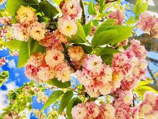 桜のブーケの写真・画像素材[1379436]