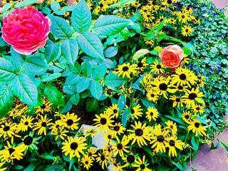 公園,花,庭,海外,ひまわり,赤,かわいい,カラフル,綺麗,晴れ,晴天,フラワー,黄色,デートスポット,お花,鮮やか,小さい,シンガポール,イエロー,レッド,ガーデンズバイザベイ