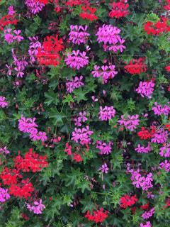 赤とピンクの花の写真・画像素材[1381260]