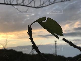 木,屋外,雲,夕焼け,枝,葉っぱ,景色,シルエット,Snapmart,秋空,空の日