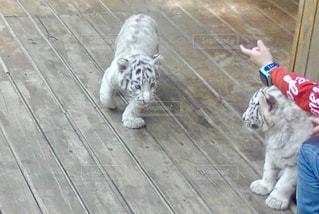 三つ子の白虎の写真・画像素材[1573503]