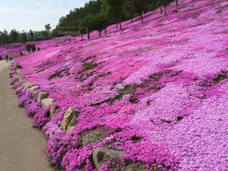 一面の芝桜の写真・画像素材[1380087]