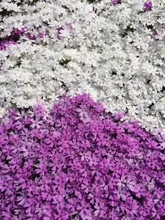 芝桜の2色弁当の写真・画像素材[1380090]