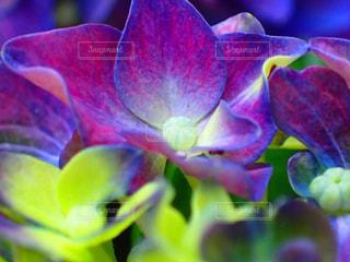 紫陽花の写真・画像素材[1382121]