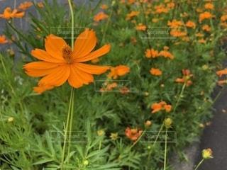 花,秋,植物,コスモス,キバナコスモス,黄花コスモス