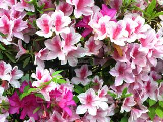 花,ピンク,ツツジ