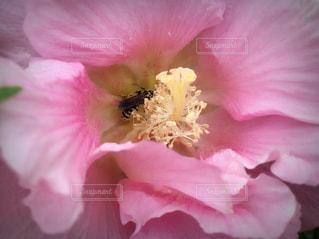 花,ピンク,蜂,虫,甘い,桜色,桃色,pink,葵,蜜