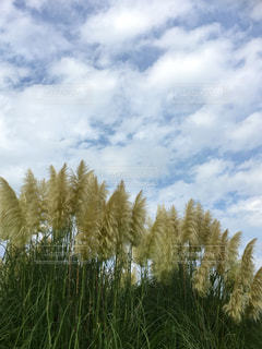 自然,空,屋外,緑,景色,草,草花,樹木,ススキ,草木,群生,すすき