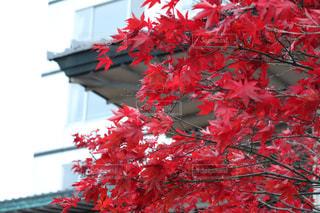秋,紅葉,北海道,一眼レフ,モミジ
