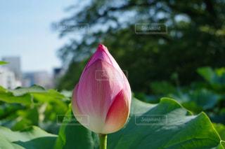 花,ピンク,つぼみ,蓮,上野公園,不忍池