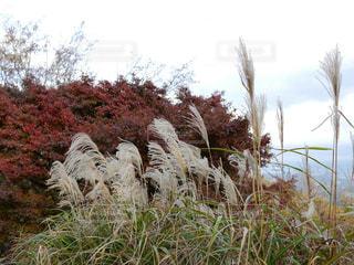 風景,空,秋,紅葉,もみじ,ススキ,すすき