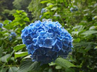花,雨,あじさい,水滴,紫陽花,雫,梅雨,アジサイ