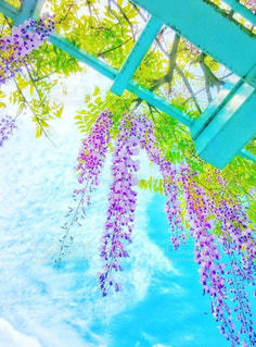 空を泳ぐ藤の花の写真・画像素材[1401096]