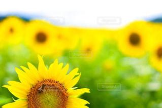 ミツバチとひまわりの写真・画像素材[1386629]