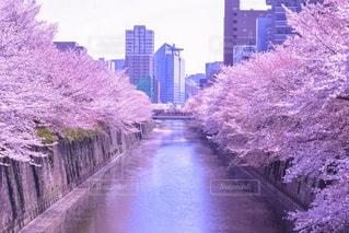 桜と目黒川の写真・画像素材[1386642]
