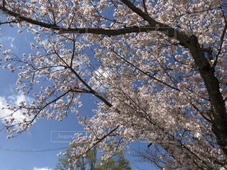 桜咲くの写真・画像素材[2001653]