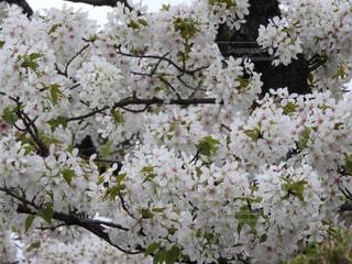 桜花の写真・画像素材[4313611]