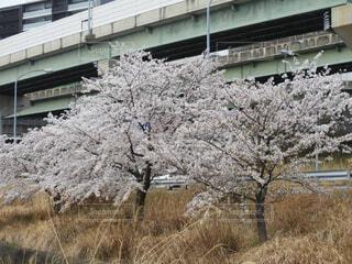 桜の写真・画像素材[4313629]