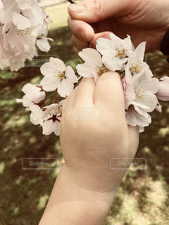 桜の花と親子の手の写真・画像素材[1386543]