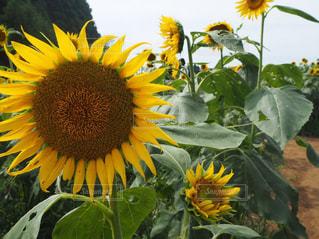黄色の花の写真・画像素材[1384834]