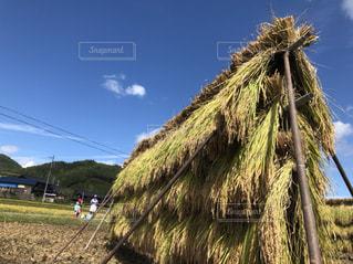 稲刈りとはざ干しの写真・画像素材[1504407]