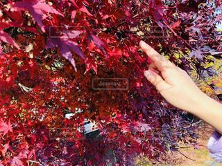 触れたくなる紅の写真・画像素材[1650696]