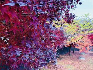 もみじから紅葉を見下ろすの写真・画像素材[1650733]