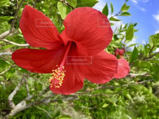 赤いハイビスカスの写真・画像素材[1389660]