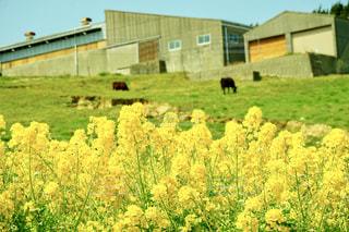 緑豊かな緑の草原に放牧牛の群れの写真・画像素材[1396194]