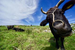 牛と空の写真・画像素材[1465016]