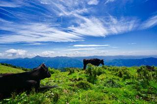空と牛の写真・画像素材[1465352]