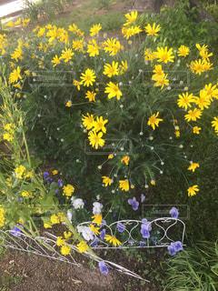フィールド内の黄色の花の写真・画像素材[1387786]