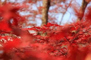 真っ赤なモミジの写真・画像素材[879784]