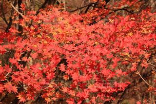 真っ赤な秋色の写真・画像素材[879798]