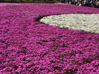 花,春,花畑,屋外,ピンク,散歩,日差し,鮮やか,観光,お花見,芝桜,花壇,快晴,天気,小花,お出かけ,鑑賞,お天気,羊ヶ丘,可愛らしい,一面花畑