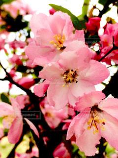 花,春,ピンク,鮮やか,村山市