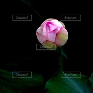 花,夏,ピンク,カラフル,つぼみ,蕾,山形,蓮子,差し色