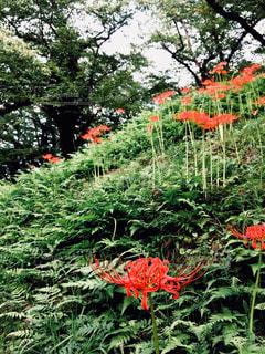 花,森林,赤,紅,彼岸花,山形,秋空,彼岸,差し色,花咲き山