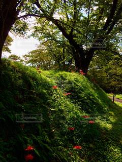 森林,赤,日差し,紅,樹木,彼岸花,山形,秋空,彼岸,差し色,花咲き山
