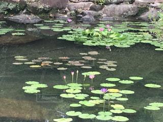 近くに池のアップの写真・画像素材[1395036]