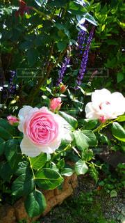庭のバラの写真・画像素材[1390312]