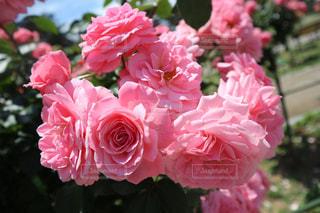 ピンク,バラ,薔薇,薔薇園,敷島公園