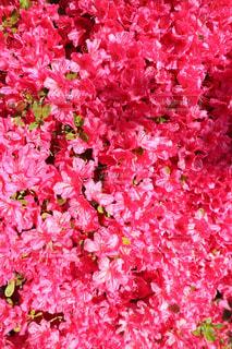 ピンク,pink,あしかがフラワーパーク,つつじ