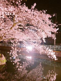 花,春,桜,ピンク,夜桜,さくら,高崎城址公園
