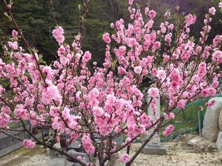 花,木,ピンク,長野,桃色,花桃,ハナモモ